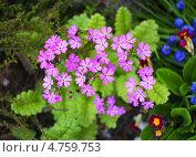 Купить «Первоцвет, или Примула (лат. Primula) — род растений из семейства Первоцветные (Primulaceae) порядка Верескоцветные (Ericales).», эксклюзивное фото № 4759753, снято 17 марта 2012 г. (c) Евгений Мухортов / Фотобанк Лори