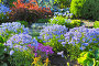Флокс растопыренный – неприхотливый травянистый многолетник. Цветущие кусты на клумбе, эксклюзивное фото № 4759765, снято 12 июня 2013 г. (c) Евгений Мухортов / Фотобанк Лори