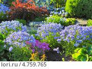 Купить «Флокс растопыренный – неприхотливый травянистый многолетник. Цветущие кусты на клумбе», эксклюзивное фото № 4759765, снято 12 июня 2013 г. (c) Евгений Мухортов / Фотобанк Лори
