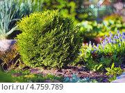 Купить «Туя ( Thúja), туйя — род голосемянных хвойных растений семейства Кипарисовые (Cupressaceae). Туя шаровидная - карликовый садовый кустарник», эксклюзивное фото № 4759789, снято 14 июня 2013 г. (c) Евгений Мухортов / Фотобанк Лори
