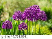 Купить «Декоративный лук или  аллиум – многолетнее неприхотливое растение, близкий родственник обычного съедобного лука и чеснока, входят в семейство луковых (Alliaceae). Цветущие головки», эксклюзивное фото № 4759869, снято 15 июня 2013 г. (c) Евгений Мухортов / Фотобанк Лори