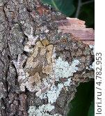 Серая квакша  Hyla chrysoscelis/versicolor на коре дерева с лишайником. Пример мимикрии. Стоковое фото, фотограф Ирина Кожемякина / Фотобанк Лори