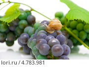 Купить «Улитка на винограде», фото № 4783981, снято 3 августа 2012 г. (c) Ласточкин Евгений / Фотобанк Лори