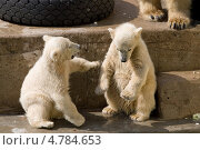 Купить «Детеныши белых медведей выясняют отношения в зоопарке», фото № 4784653, снято 29 апреля 2008 г. (c) Сергей Александров / Фотобанк Лори