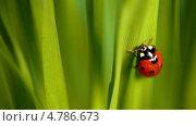 Купить «Божья коровка на травинке», видеоролик № 4786673, снято 21 июня 2013 г. (c) Сергей Новиков / Фотобанк Лори