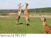 Битва пятнистых оленей. Стоковое фото, фотограф Алексей Белобородов / Фотобанк Лори
