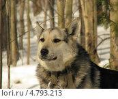 Собака на службе. Стоковое фото, фотограф Константин Саночкин / Фотобанк Лори