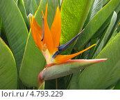 Цветок Стрелиция - райская птица. Стоковое фото, фотограф Константин Саночкин / Фотобанк Лори