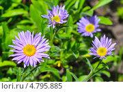 Астра альпийская (Aster alpinus)  — многолетнее корневищное травянистое или полукустарниковое растение. Стоковое фото, фотограф Евгений Мухортов / Фотобанк Лори