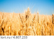 Пшеница. Стоковое фото, фотограф Александр Фемяк / Фотобанк Лори