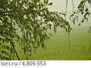 Ветки берёзы на фоне майского снега. Стоковое фото, фотограф Сергей Филиппов / Фотобанк Лори