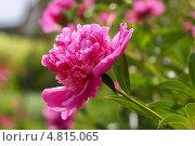 Пион молочноцветковый ( Paeonia lactiflora) — вид травянистых многолетних растений рода Пион семейства Пионовые (Paeoniaceae) Стоковое фото, фотограф Евгений Мухортов / Фотобанк Лори