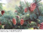 Еловая ветвь с шишками. Стоковое фото, фотограф Анастасия Кунденкова / Фотобанк Лори