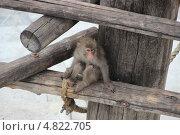 Обезьяна. Стоковое фото, фотограф Шумов Евгений Владимирович / Фотобанк Лори