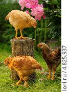 Три цыпленка. Стоковое фото, фотограф Digifuture / Фотобанк Лори
