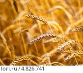 Купить «Спелая пшеница на поле», фото № 4826741, снято 24 июня 2013 г. (c) Александр Лесик / Фотобанк Лори