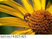 Божья коровка на цветке. Стоковое фото, фотограф Александров Алексей / Фотобанк Лори