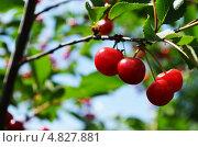 Спелые плоды вишни на дереве. Стоковое фото, фотограф Анастасия Марисенкова / Фотобанк Лори