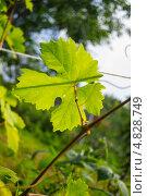 Лист винограда. Стоковое фото, фотограф Сергей Катилов / Фотобанк Лори
