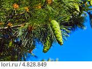 Купить «Сосна румелийская (лат. Pinus peuce). Шишки и хвоя крупным планом», фото № 4828849, снято 9 июня 2013 г. (c) Сергей Трофименко / Фотобанк Лори
