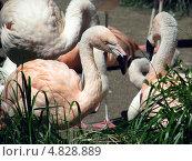 Розовые фламинго. Стоковое фото, фотограф Константин Саночкин / Фотобанк Лори
