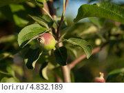 Растущее яблоко на ветке. Стоковое фото, фотограф Максим Савин / Фотобанк Лори
