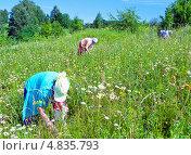 Женщины собирают ягоды (2013 год). Редакционное фото, фотограф Александр Басов / Фотобанк Лори
