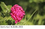 Купить «Большой розовый бутон пиона», видеоролик № 4838393, снято 24 июня 2013 г. (c) Юрий Александрович Балдин / Фотобанк Лори