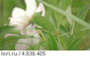 Купить «Бабочка, сидящая на листе на фоне большого белого пиона», видеоролик № 4838405, снято 24 июня 2013 г. (c) Юрий Александрович Балдин / Фотобанк Лори
