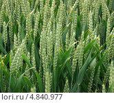 Купить «Поле пшеницы», фото № 4840977, снято 5 июля 2013 г. (c) Максим Гулячик / Фотобанк Лори
