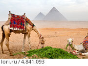 Купить «Пара бедуинских верблюдов едят траву на фоне Великих пирамид в Гизе, Каир, Египет», фото № 4841093, снято 20 января 2012 г. (c) Николай Винокуров / Фотобанк Лори