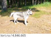 Купить «Сибирский хаски в лесу», эксклюзивное фото № 4846665, снято 24 июня 2013 г. (c) Елена Коромыслова / Фотобанк Лори