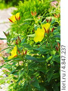Купить «Энотера кустарниковая  (Oenothera fruticosa L. )», эксклюзивное фото № 4847237, снято 12 июля 2013 г. (c) Евгений Мухортов / Фотобанк Лори