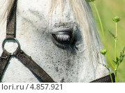Белая лошадь крупным планом - глаз и упряжь. Стоковое фото, фотограф Анастасия Марисенкова / Фотобанк Лори