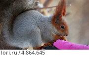 Купить «Белка ест с руки», видеоролик № 4864645, снято 18 июля 2013 г. (c) Игорь Жоров / Фотобанк Лори
