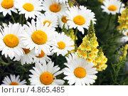 Ромашки. Стоковое фото, фотограф Олег Соловьев / Фотобанк Лори