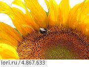 Шмель на подсолнухе. Стоковое фото, фотограф Buyanka / Фотобанк Лори