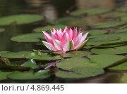 Розовая водяная лилия. Стоковое фото, фотограф Юлия Соловьёва / Фотобанк Лори