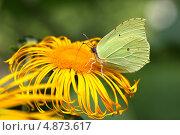 Бабочка лимонница (крушинница) на жёлтом цветке. Стоковое фото, фотограф Юлия Соловьёва / Фотобанк Лори