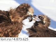Ухаживания чёрных грифов. Стоковое фото, фотограф Юлия Соловьёва / Фотобанк Лори