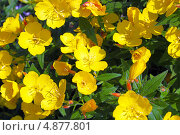 Купить «Энотера кустарниковая  (Oenothera fruticosa L. )», эксклюзивное фото № 4877801, снято 12 июля 2013 г. (c) Евгений Мухортов / Фотобанк Лори