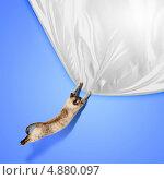 Купить «Большой сиамский кот прыгает и тянет лапами кусок белой шелковой ткани на синем фоне», фото № 4880097, снято 21 июля 2018 г. (c) Sergey Nivens / Фотобанк Лори