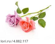 Купить «Две розы на белом фоне», фото № 4882117, снято 16 июля 2013 г. (c) Елена Силкова / Фотобанк Лори