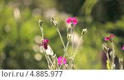 Купить «Розовые маленькие полевые цветы и белая бабочка», видеоролик № 4885977, снято 24 июня 2013 г. (c) Юрий Александрович Балдин / Фотобанк Лори