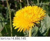 Одуванчик цветущий. Стоковое фото, фотограф Jumbo / Фотобанк Лори