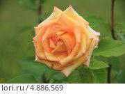 Оранжевая роза в саду. Стоковое фото, фотограф Бакулин Николай / Фотобанк Лори