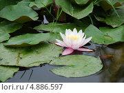 Цветок кувшинки. Стоковое фото, фотограф Чернова Анна / Фотобанк Лори