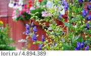 Купить «Аконит, или борец (Aconitum) и шмели (Bombus) на дачном участке», эксклюзивный видеоролик № 4894389, снято 25 июля 2013 г. (c) Алёшина Оксана / Фотобанк Лори