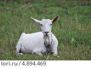 Купить «Коза», фото № 4894469, снято 25 июля 2013 г. (c) Сычёва Татьяна / Фотобанк Лори