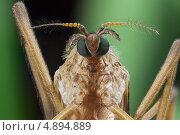 Комар – долгоножка (Tipulidae) Стоковое фото, фотограф Забалуев Игорь Анатолич / Фотобанк Лори